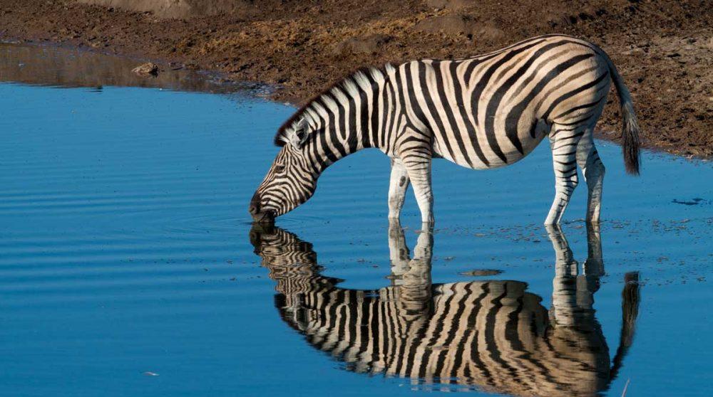 Un zèbre dans le Parc National d'Etosha en Namibie