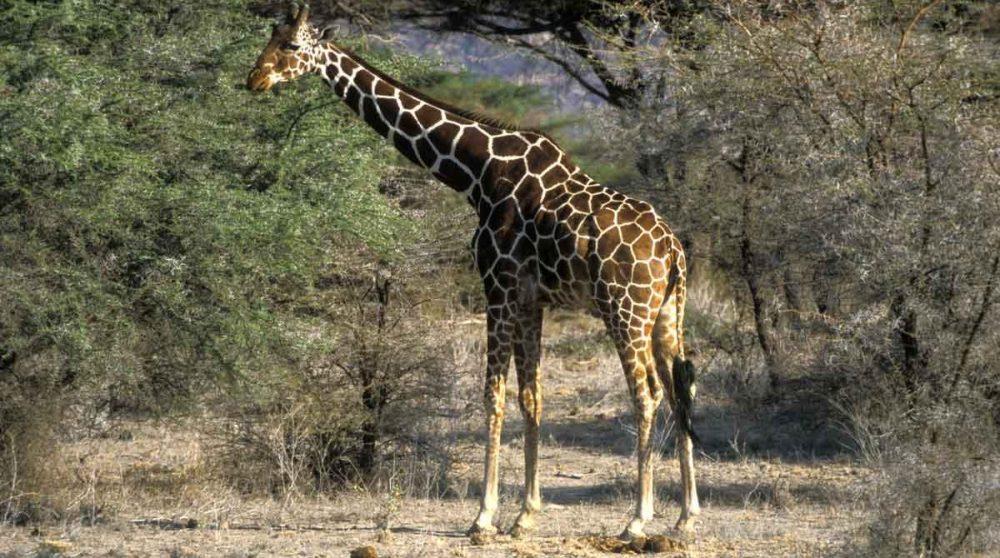 Girafes dans la réserve nationale de Shaba