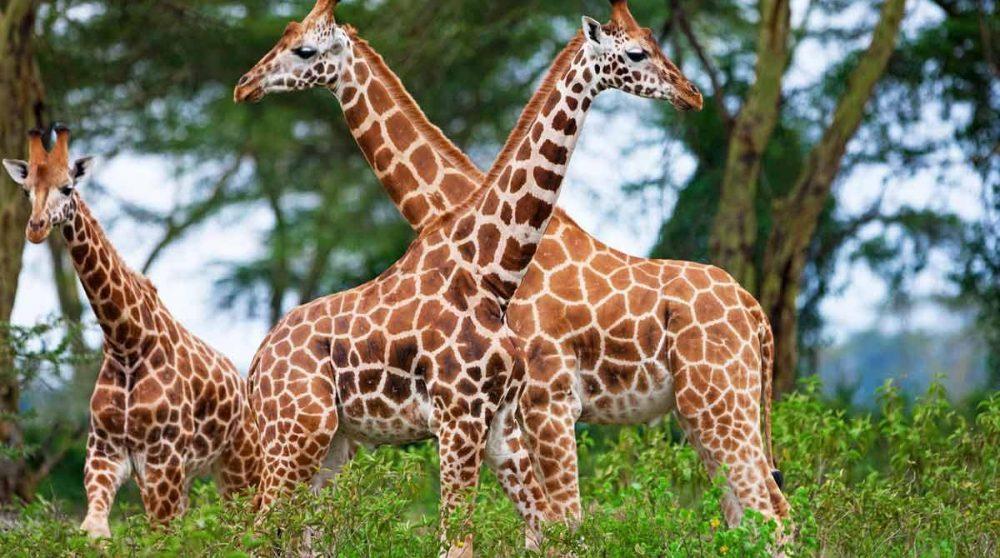 Des girafes au Lac Nakuru