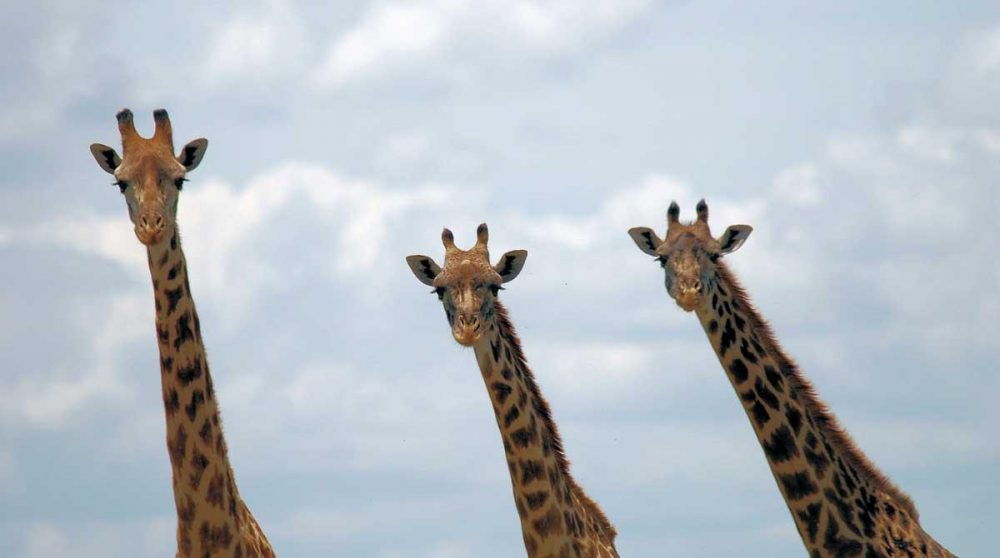 Les girafes du Masai Mara