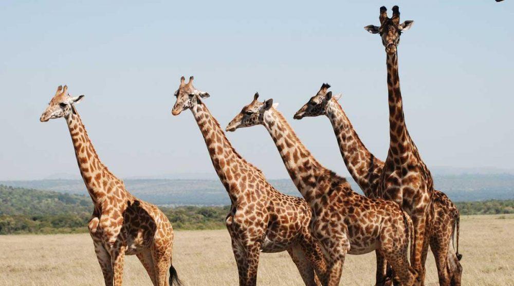 Des girafes dans le Masai Mara au Kenya