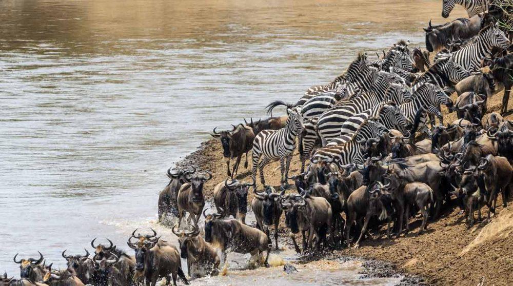 Des gnous dans le Masai Mara