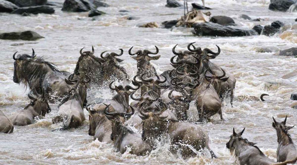 Les gnous dans le Masai Mara au Kenya