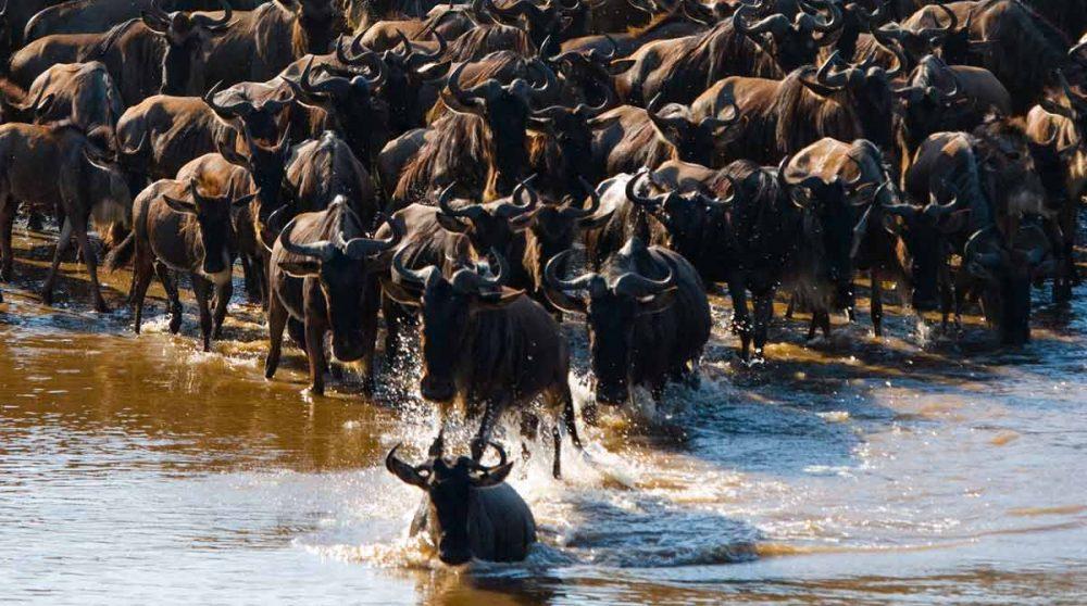 Des gnous dans le Serengeti