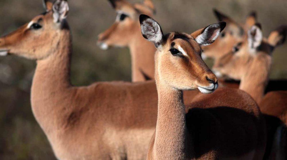 Vous croiserez des impalas