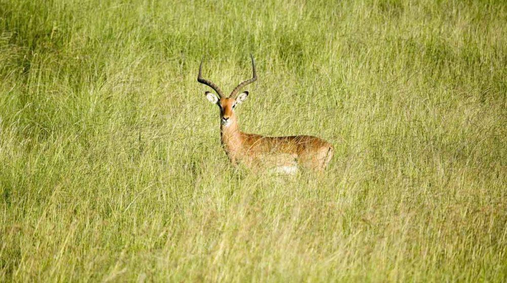 Un impala dans le Masai-Mara