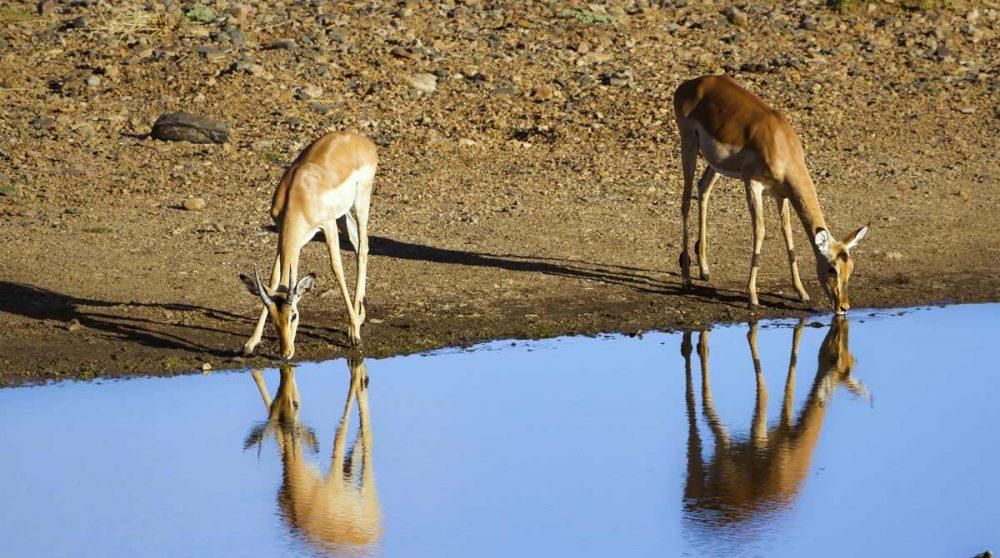 Des impalas dans le Kruger en Afrique du Sud, à voir lors de votre voyage