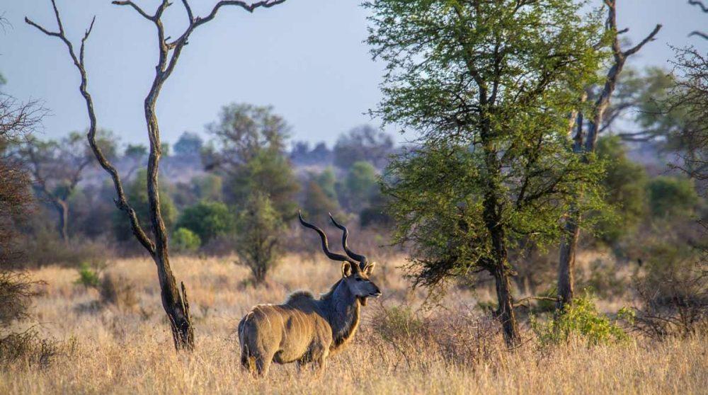 Vous observerez les animaux dans le Kruger