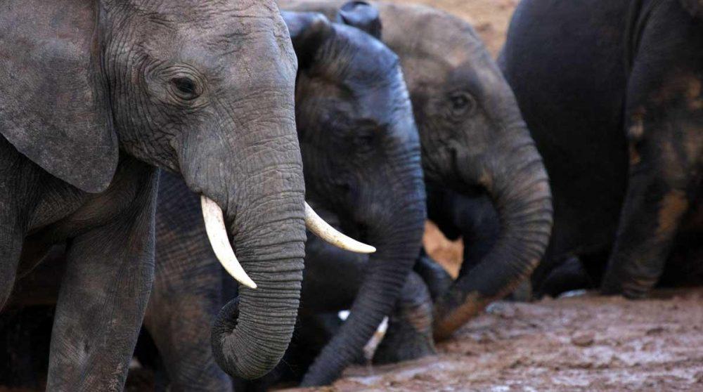 Les éléphants du Kruger