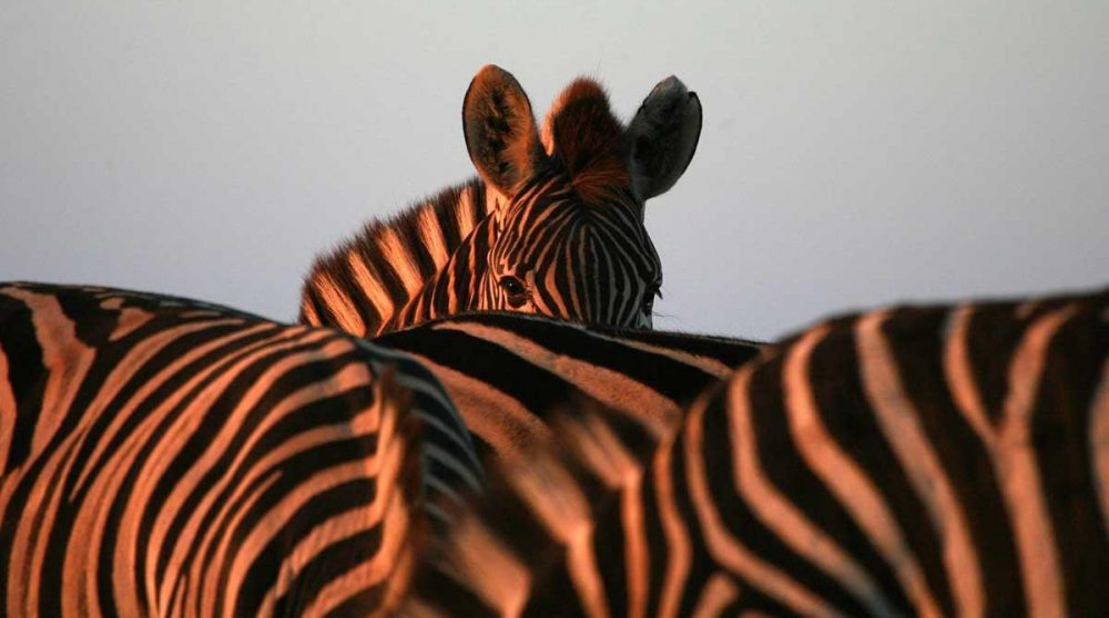 Les girafes du parc Kruger en Afrique du Sud
