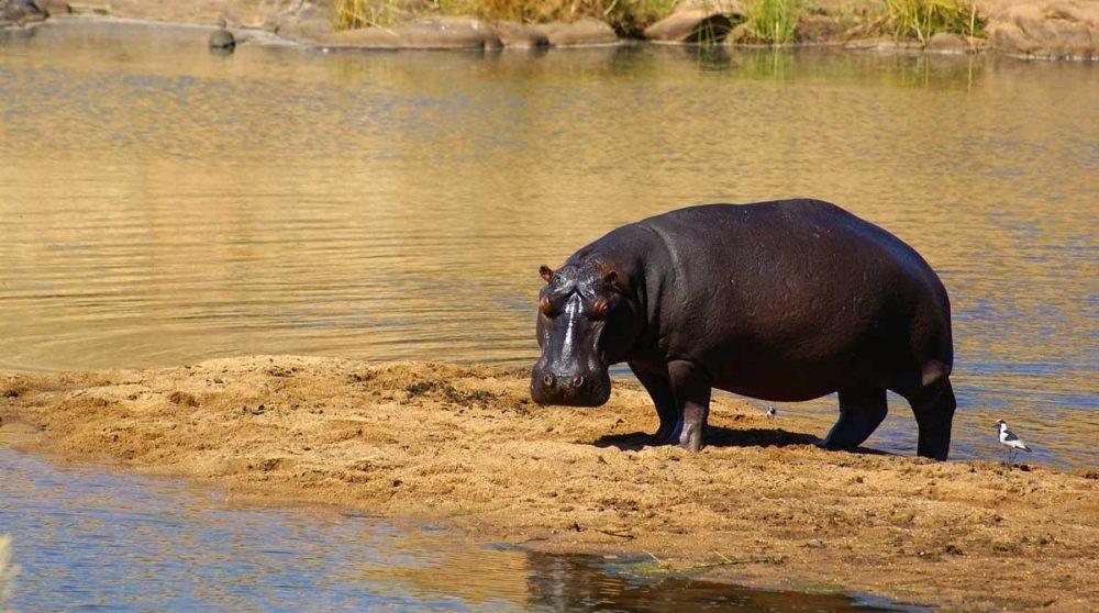Un hippopotame dans le Kruger