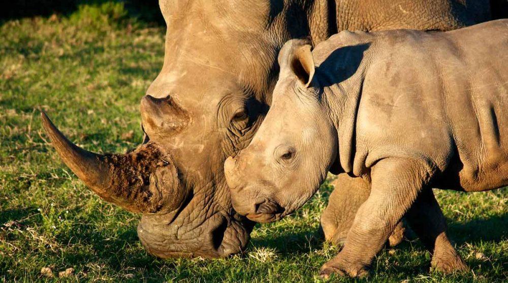 Des rhinocéros dans le Kruger en Afrique du Sud