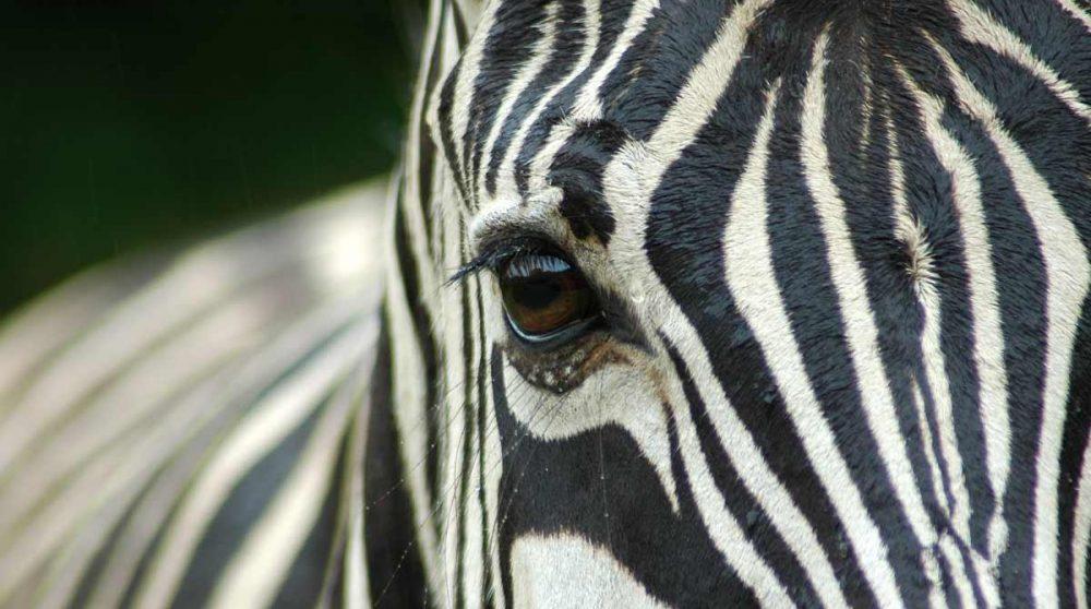 Un zèbre dans le Kruger