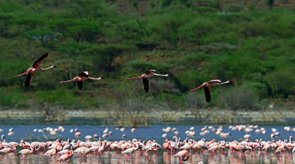 Les flamants roses au Lac Bogoria au Kenya
