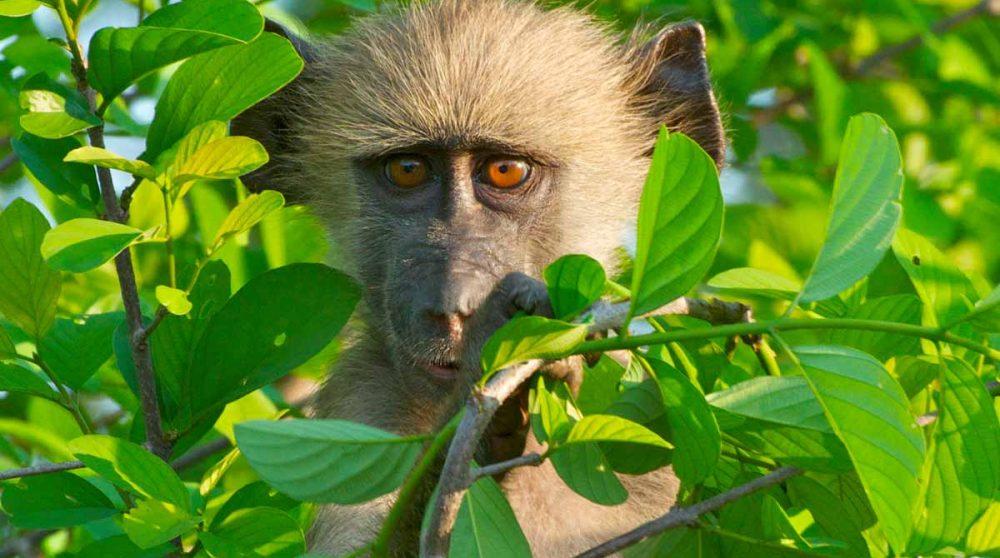 Un singe au Lac Manyara