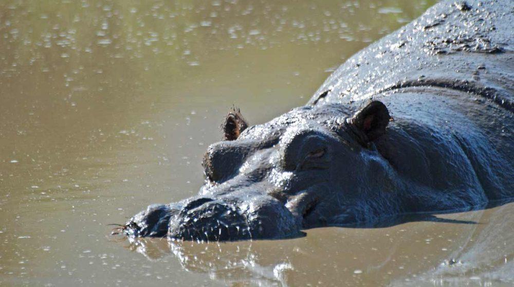 Un hippopotame au Lac Manyara