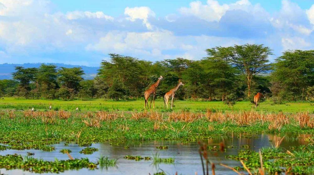 Le Lac Naivasha avec des girafes