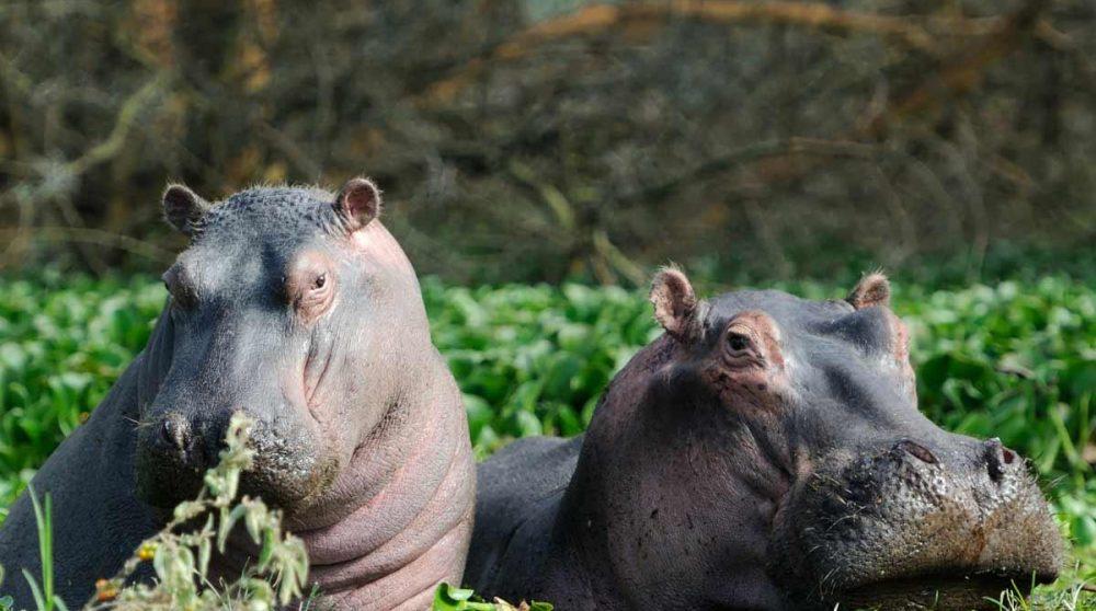 Le Lac Naivasha et ses hippopotames au Kenya