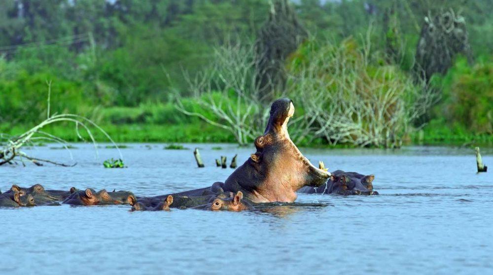 Découvrez le Lac Naivasha et ses hippopotames