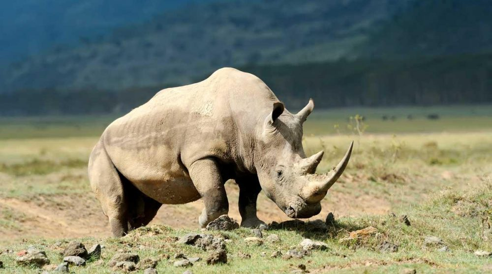 Un rhinocéros dans le lac Nakuru