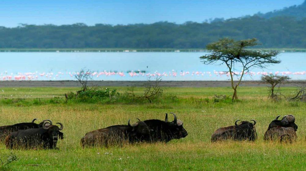 Des gnous au Lac Nakuru