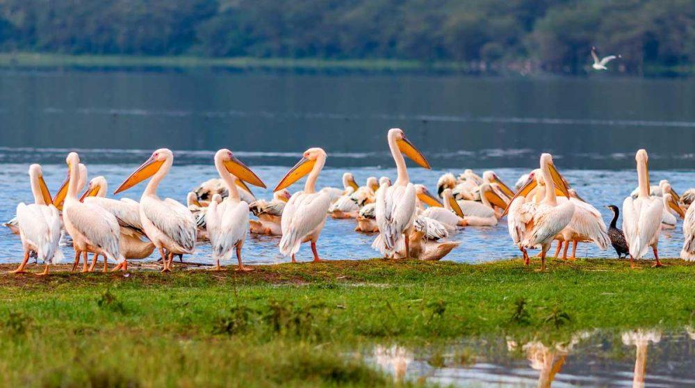 Les pélicans du Lac Nakuru