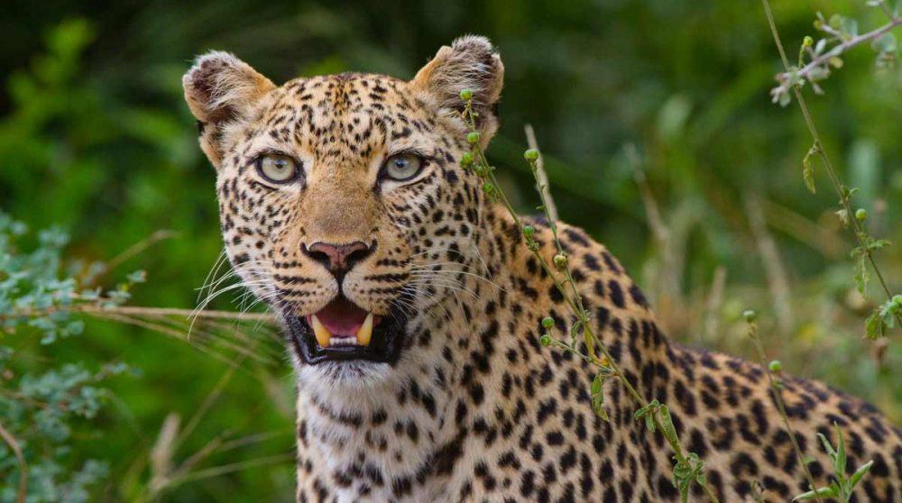 Un léopard, le roi du Kruger