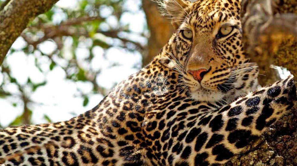 Un léopard dans la nature