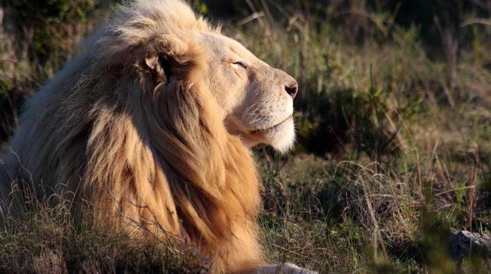 Un lion dans la réserve privée de Sabi Sand