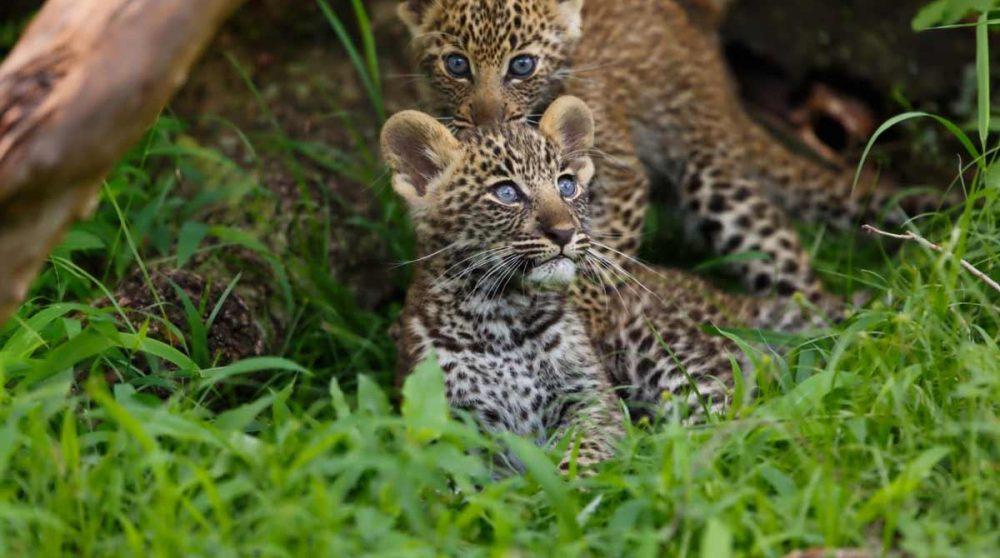 Des bébés félins
