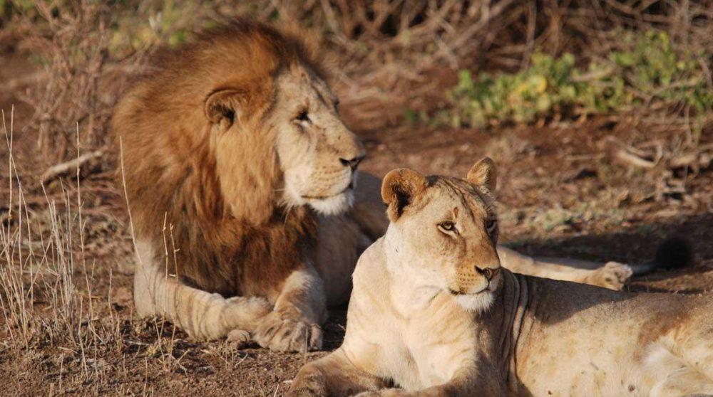 Lions dans Amboseli au Kenya