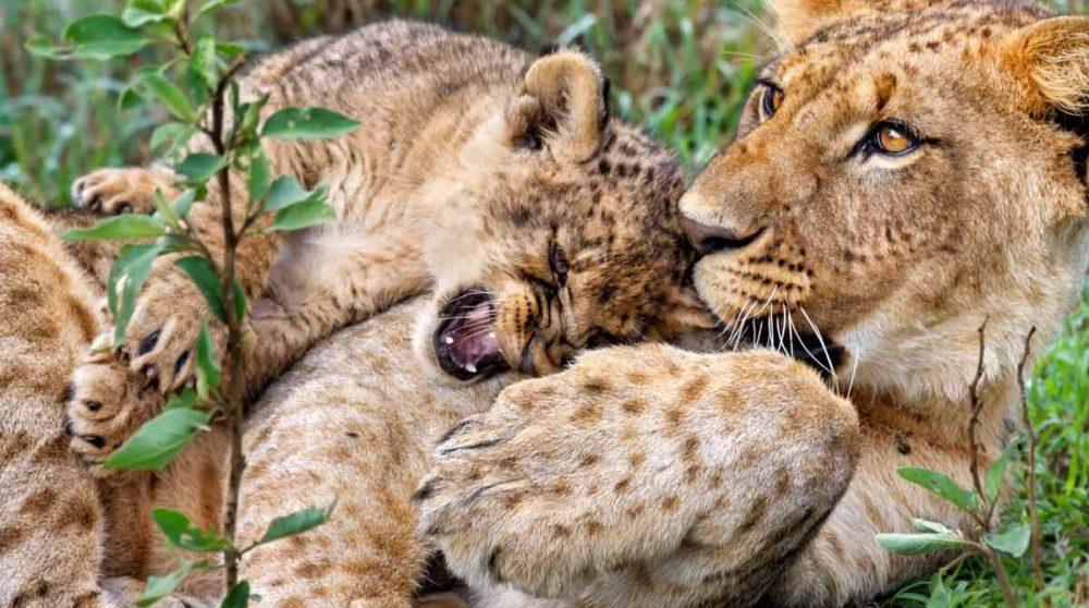 Les lions du Lac Nakuru