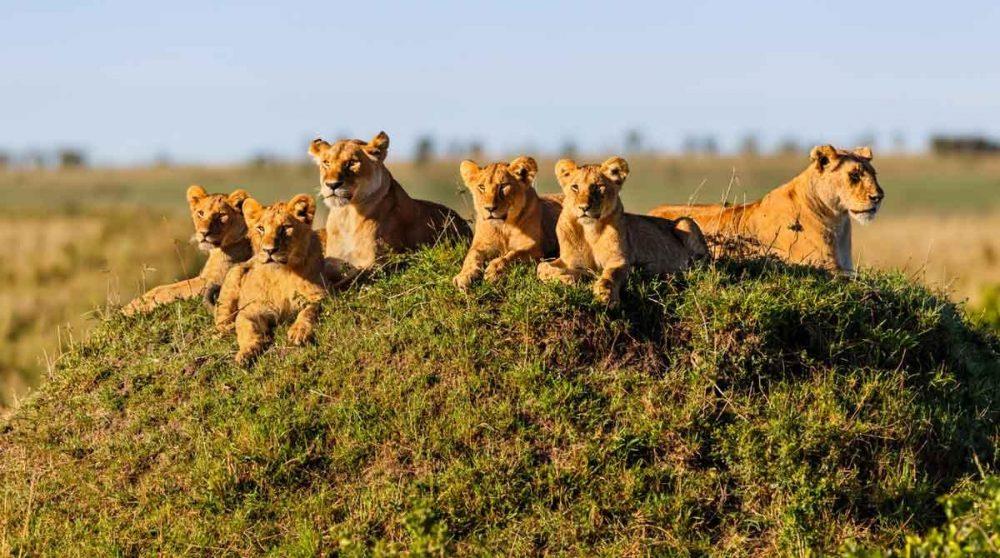 Le Masai Mara et ses félins