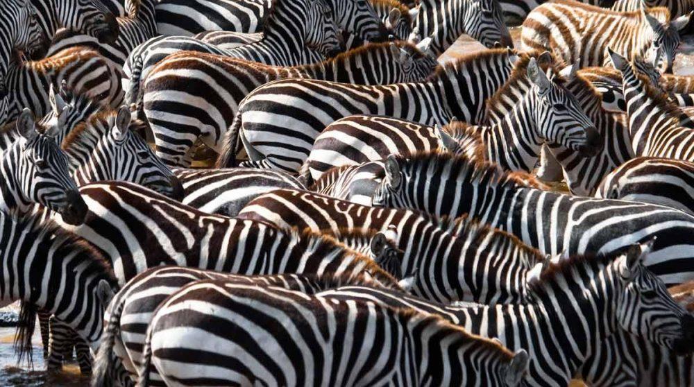 Les zèbres du Masai Mara