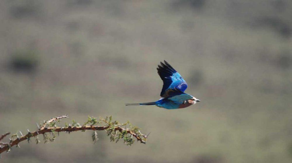 Le Masai Mara où l'on peut observer les oiseaux