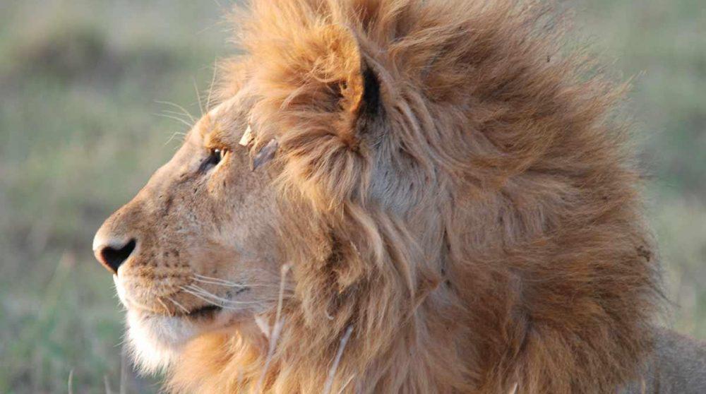 Le Masai Mara et ses lions, à voir absolument lors de votre circuit