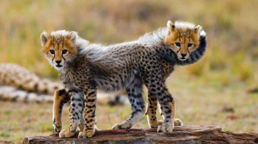 Des félins dans le Masai Mara au Kenya