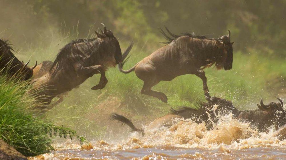Les gnous du Masai Mara au Kenya