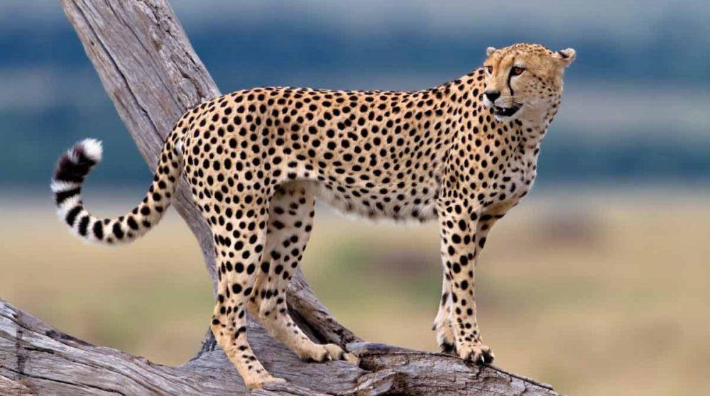 Un guépard dans le Masai Mara