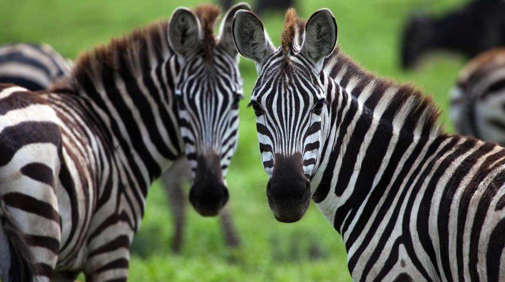 Des zèbres dans le Masai Mara au Kenya