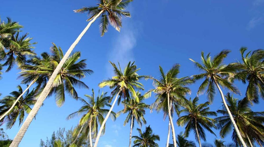 Les palmiers de Mombasa au Kenya