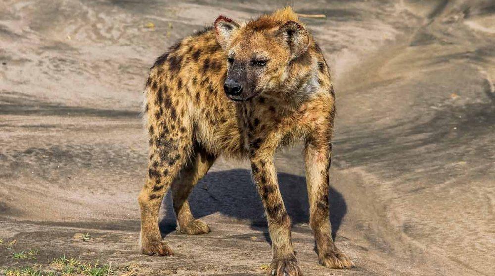 Le cratère du Ngorongoro et ses animaux