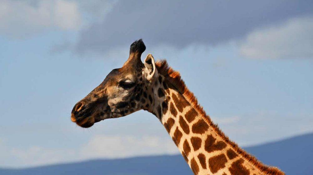 Une girafe au Cratère du Ngorongoro