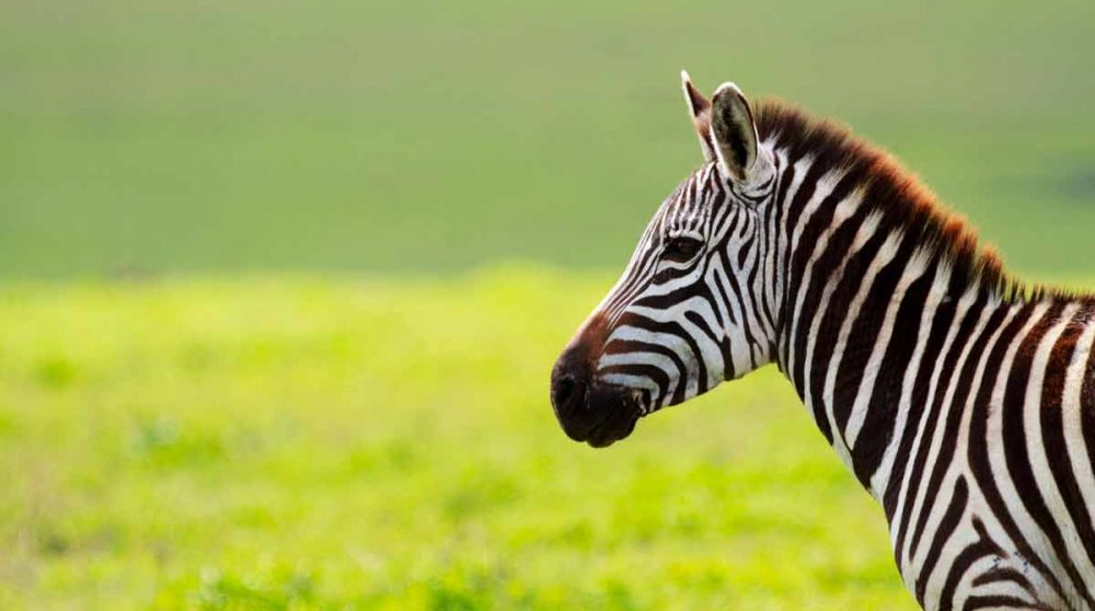 Un zèbre en Tanzanie