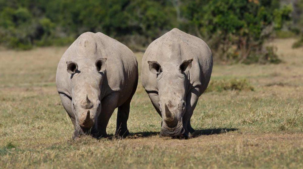 Des rhinocéros blancs à Ol Pejeta au Kenya