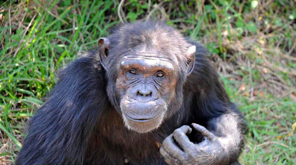 Un chimpanzé d'Ol Pejeta au Kenya