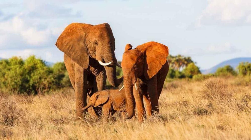 Découvrez les éléphants de Samuburu au Kenya