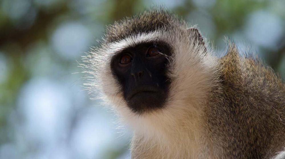 Un petit singe à Samburu