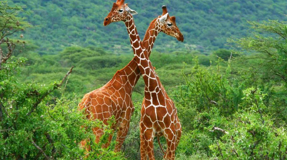 Des girafes réticulées dans le Masai Mara