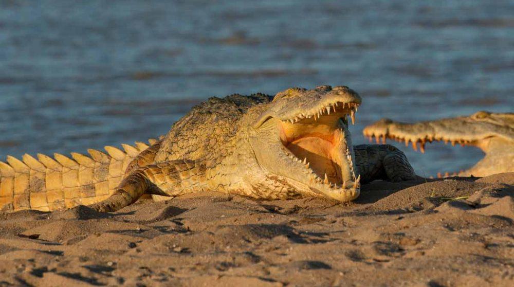Un crocodile dans la réserve de Selous